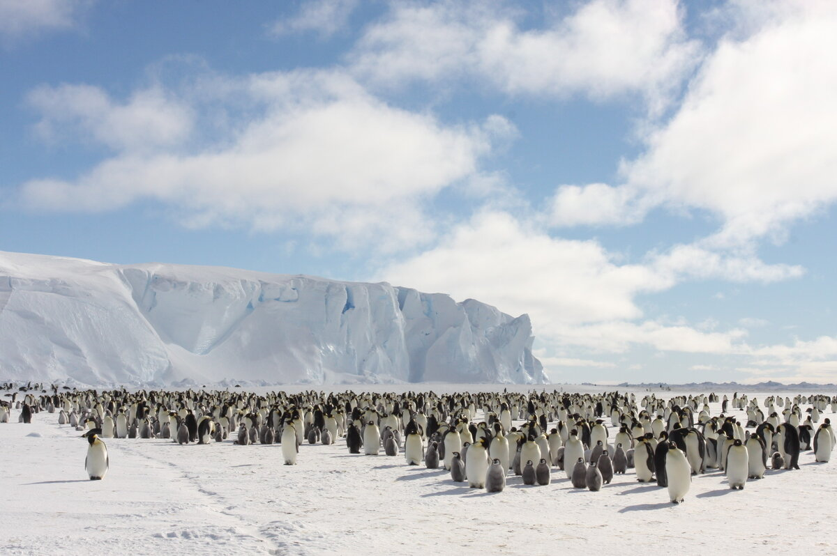 Emperor penguins make the Antarctic continent their true home
