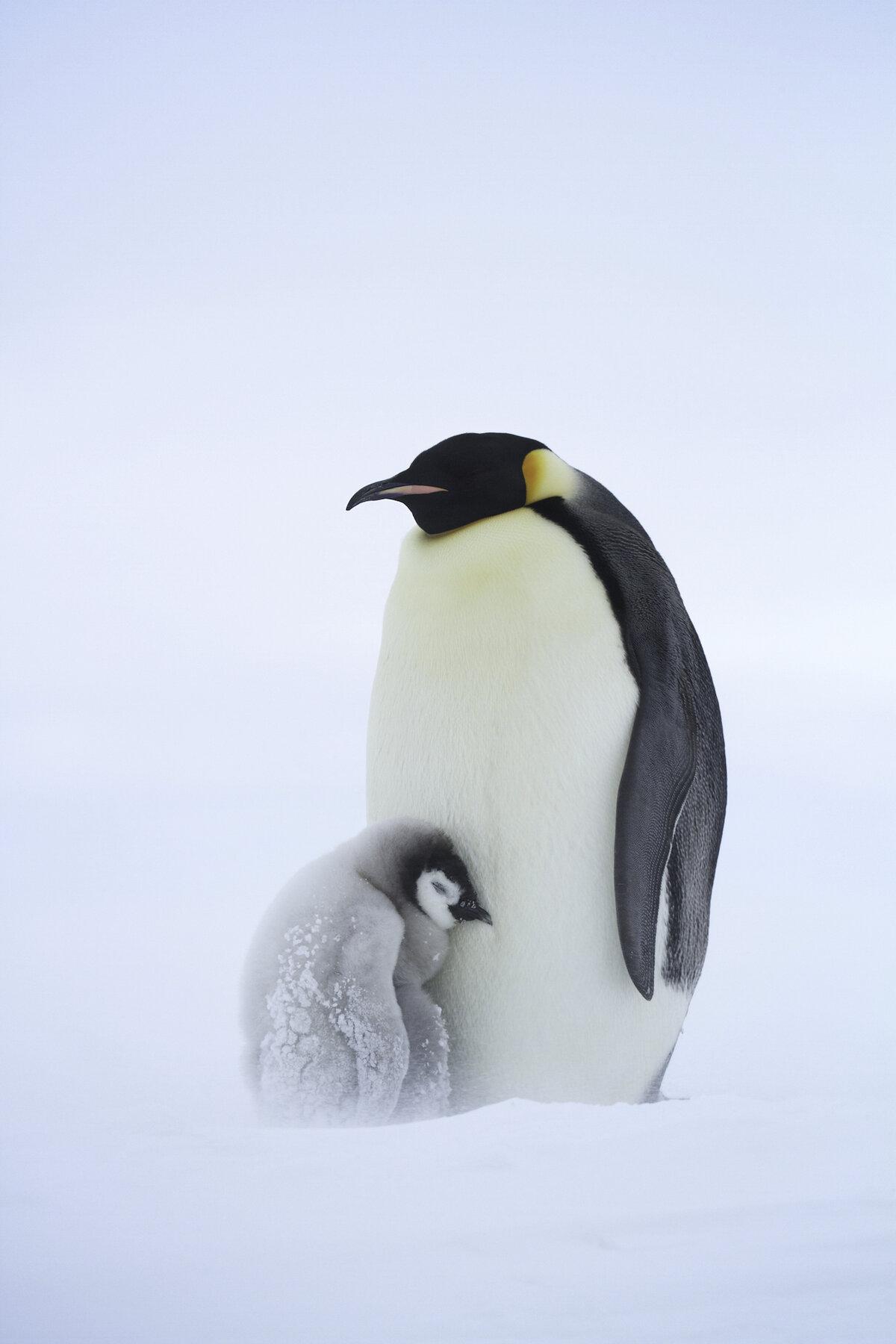 Chick huddles against parent during a snow storm
