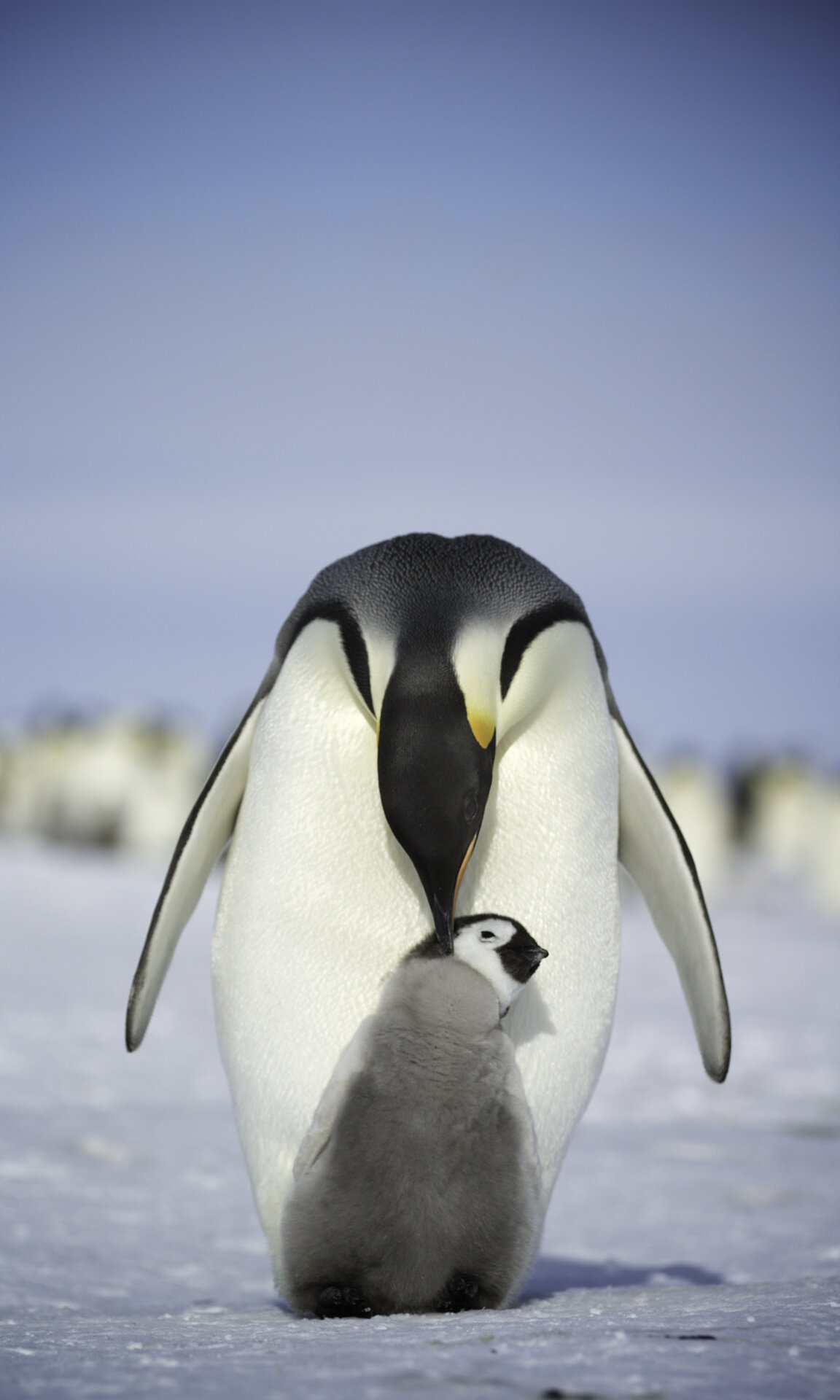Adult emperor penguin bows its head to peck its chick