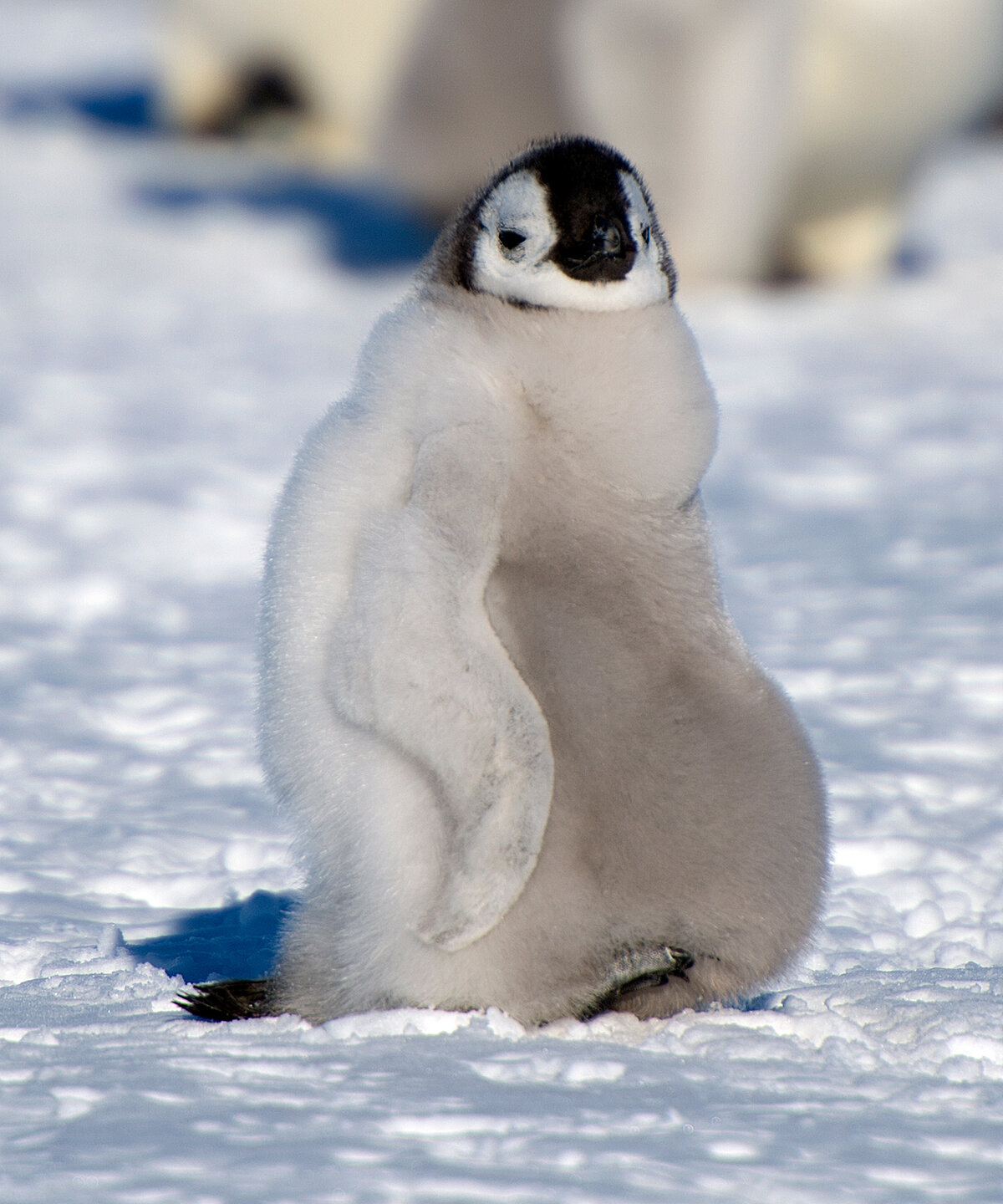 Emperor penguin chick with full belly after feeding