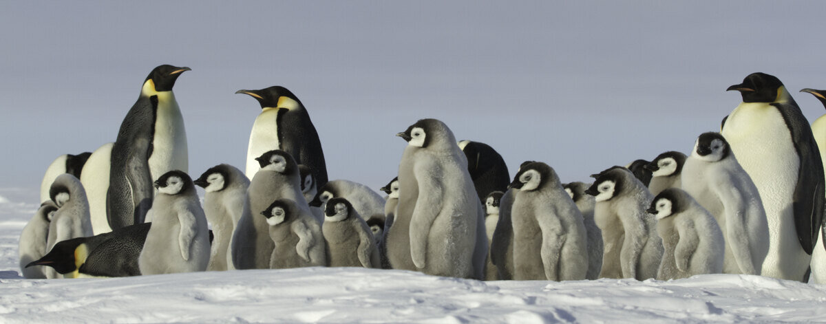 Adult emperor penguins surround a large group of chicks