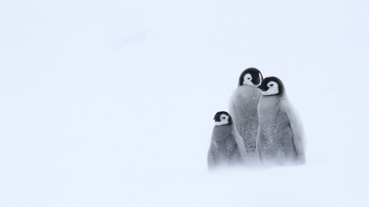 Three emperor penguin chicks huddle together in a snow storm