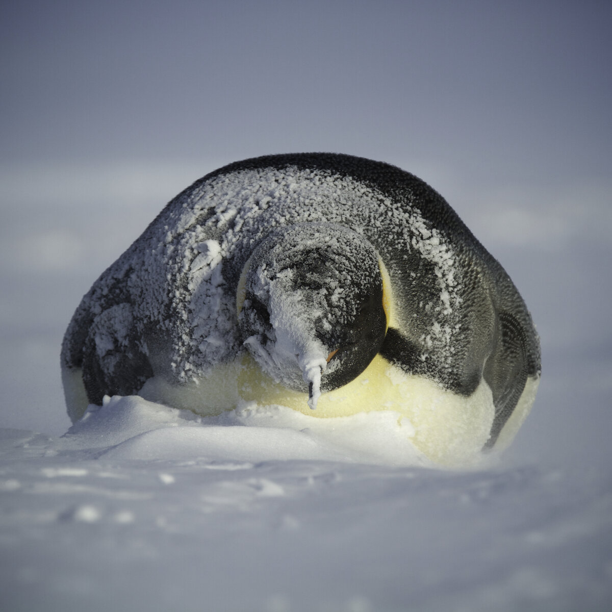 Adult emperor penguin gets covered with snow, during a storm