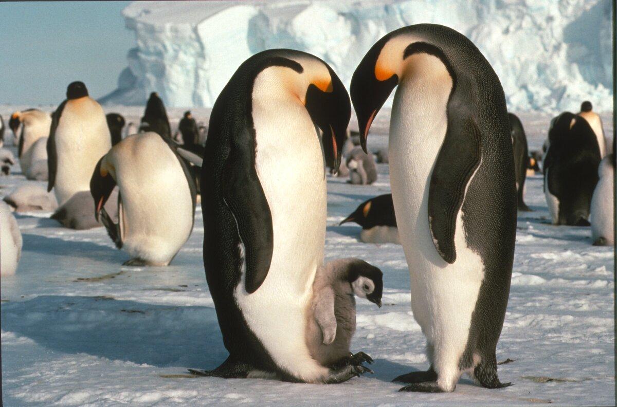 1st tourist visit to Dawson-Lambton emperor penguin colony, 1991