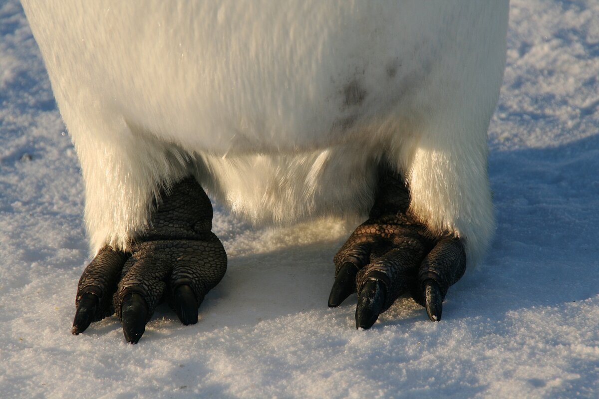 Emperor penguin feet