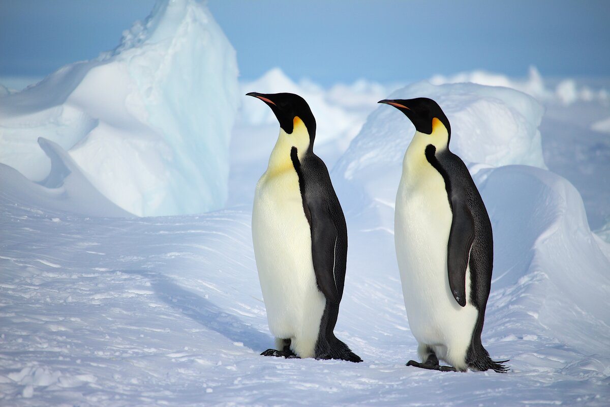 Two adult emperor penguins walk past blocks of ice rubble