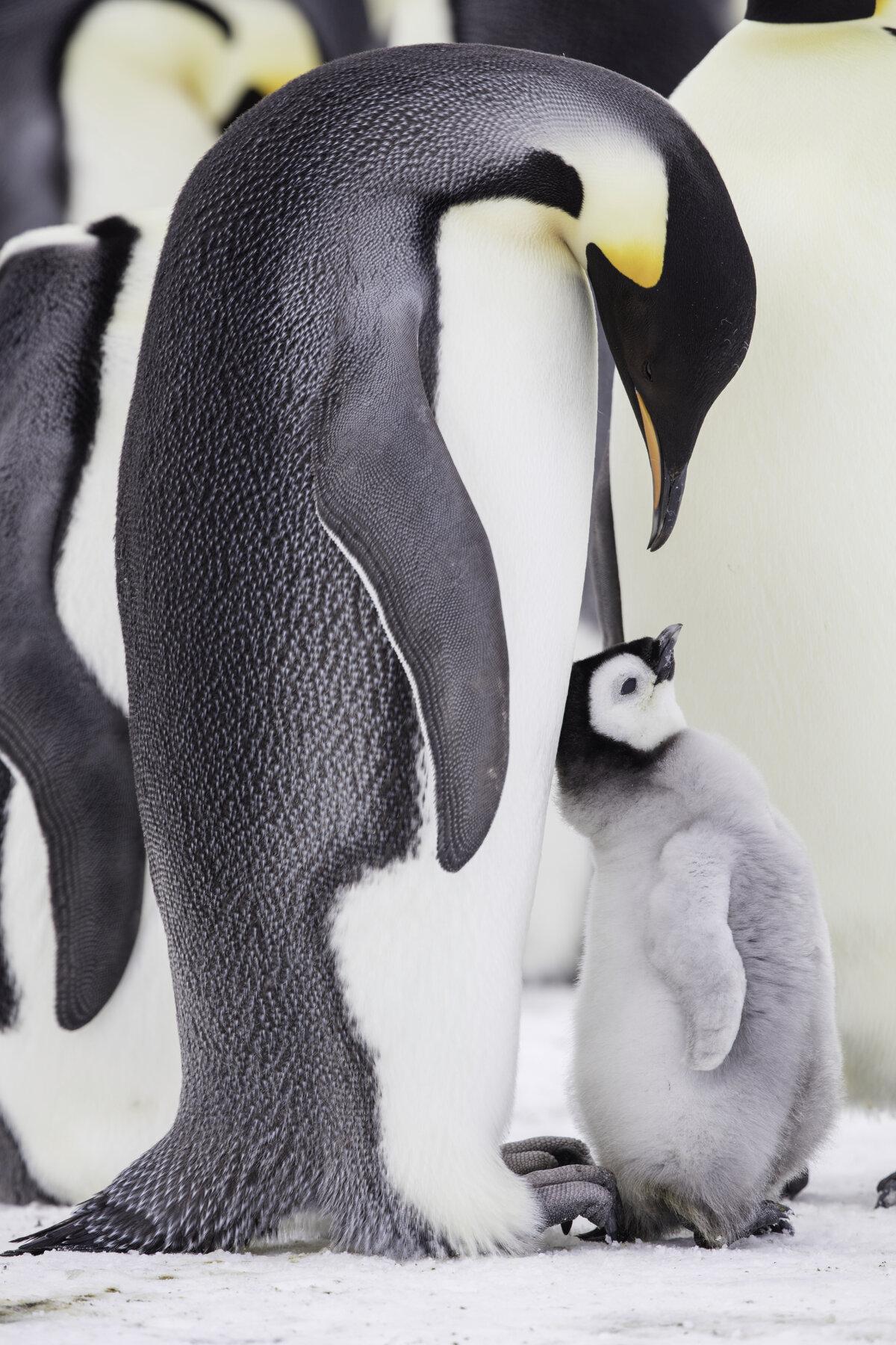 Adult emperor penguin leans over a begging chick